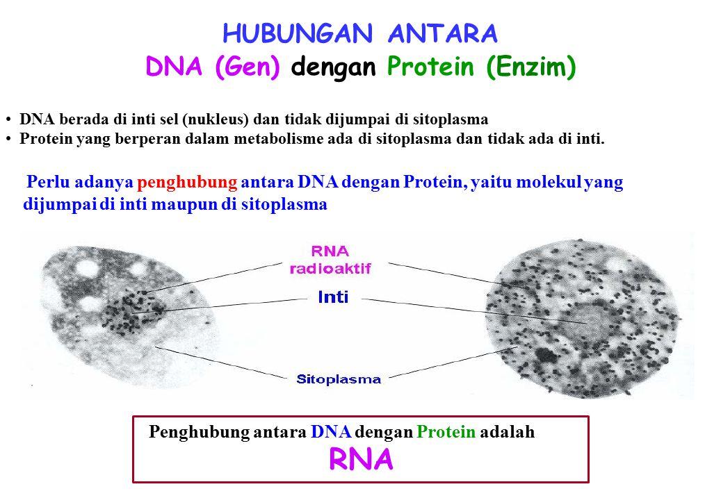DNA (Gen) dengan Protein (Enzim)