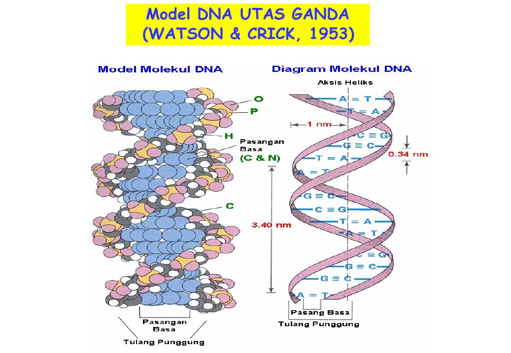 Model DNA UTAS GANDA (WATSON & CRICK, 1953)