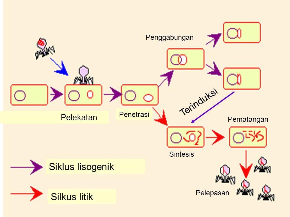 Terinduksi Siklus lisogenik Silkus litik Pelekatan Penggabungan