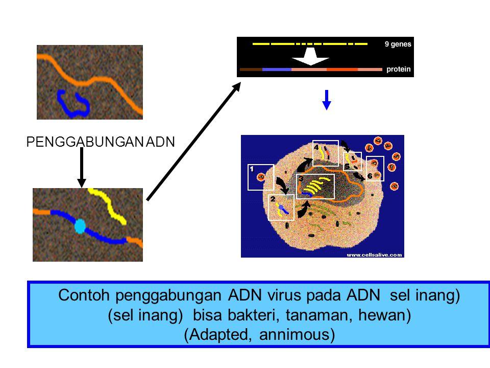 Contoh penggabungan ADN virus pada ADN sel inang)