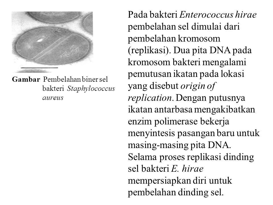Pada bakteri Enterococcus hirae pembelahan sel dimulai dari pembelahan kromosom (replikasi). Dua pita DNA pada kromosom bakteri mengalami pemutusan ikatan pada lokasi yang disebut origin of replication. Dengan putusnya ikatan antarbasa mengakibatkan enzim polimerase bekerja menyintesis pasangan baru untuk masing-masing pita DNA. Selama proses replikasi dinding sel bakteri E. hirae mempersiapkan diri untuk pembelahan dinding sel.