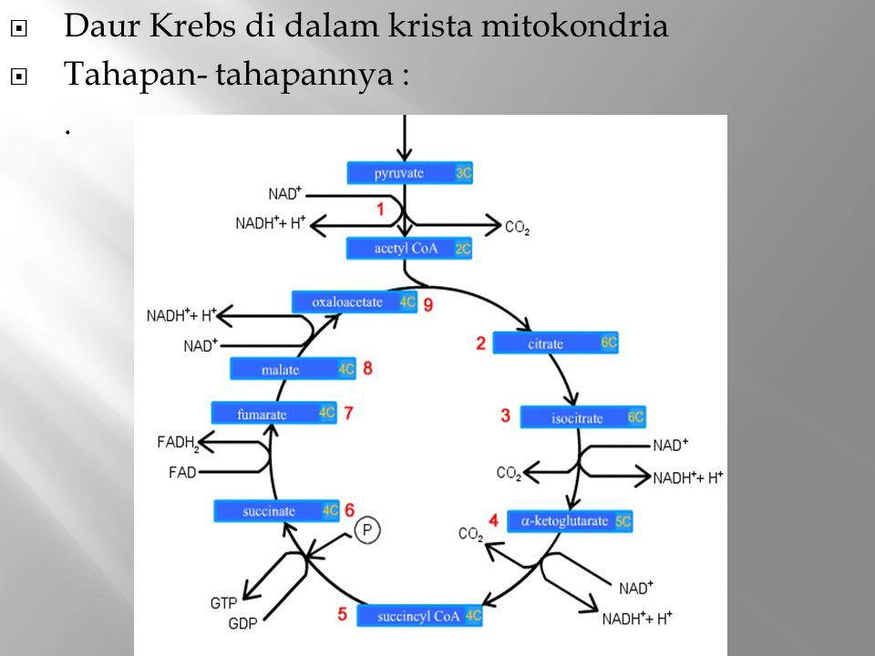 Daur Krebs di dalam krista mitokondria