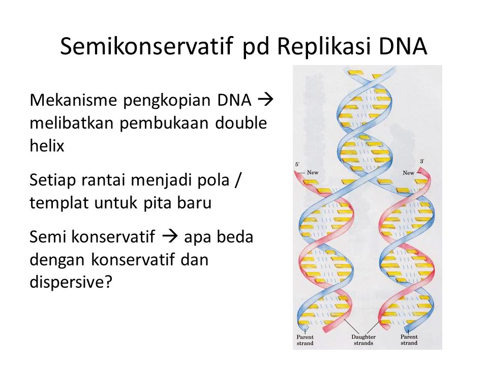 Semikonservatif pd Replikasi DNA