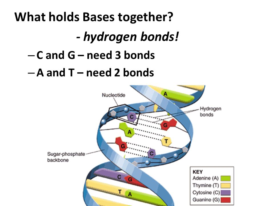 What holds Bases together - hydrogen bonds!