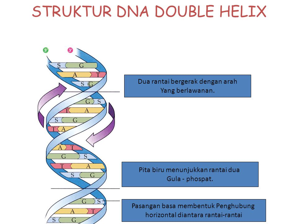 STRUKTUR DNA DOUBLE HELIX