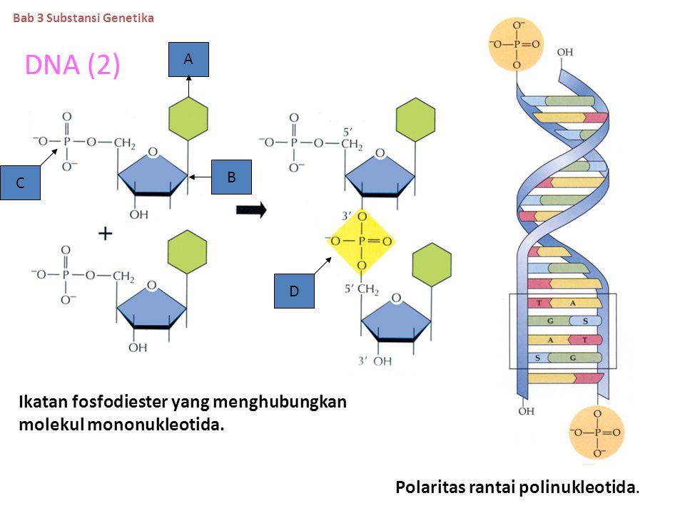 DNA (2) Ikatan fosfodiester yang menghubungkan molekul mononukleotida.