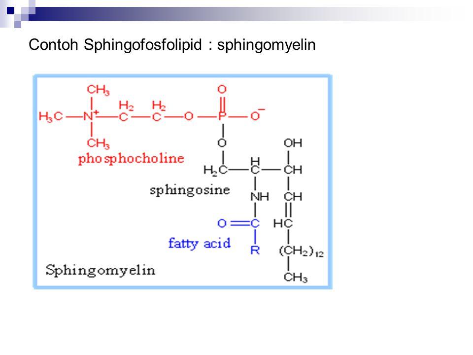 Contoh Sphingofosfolipid : sphingomyelin