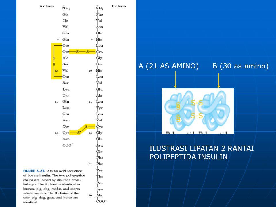 A (21 AS.AMINO) B (30 as.amino) S-S S S S-S ILUSTRASI LIPATAN 2 RANTAI POLIPEPTIDA INSULIN