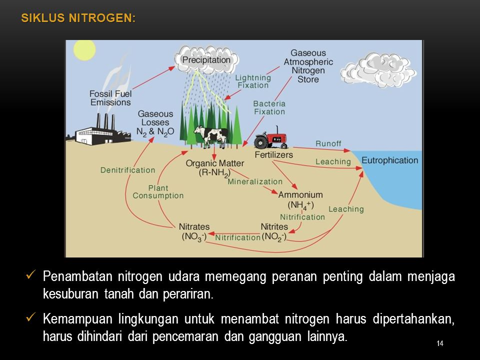 SIKLUS NITROGEN: Penambatan nitrogen udara memegang peranan penting dalam menjaga kesuburan tanah dan perariran.