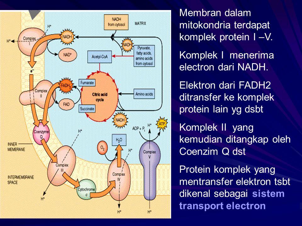 Membran dalam mitokondria terdapat komplek protein I –V.
