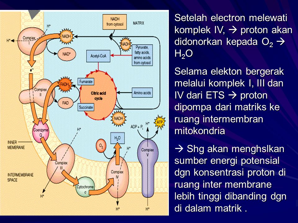 Setelah electron melewati komplek IV,  proton akan didonorkan kepada O2  H2O
