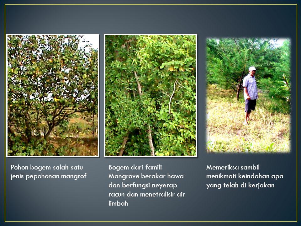 Pohon bogem salah satu jenis pepohonan mangrof