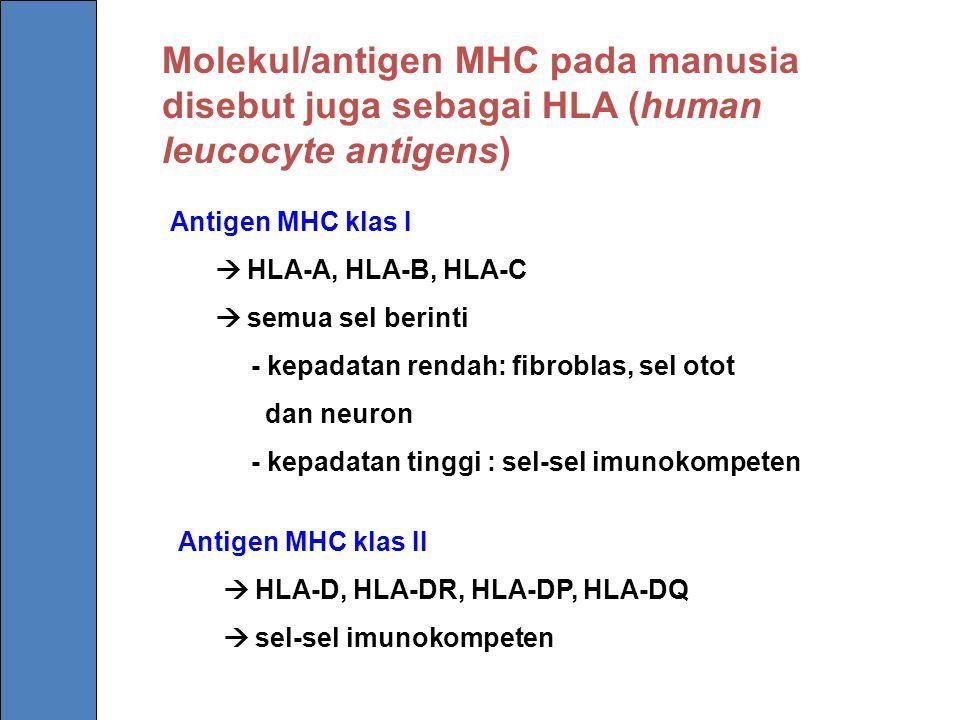 Molekul/antigen MHC pada manusia disebut juga sebagai HLA (human leucocyte antigens)