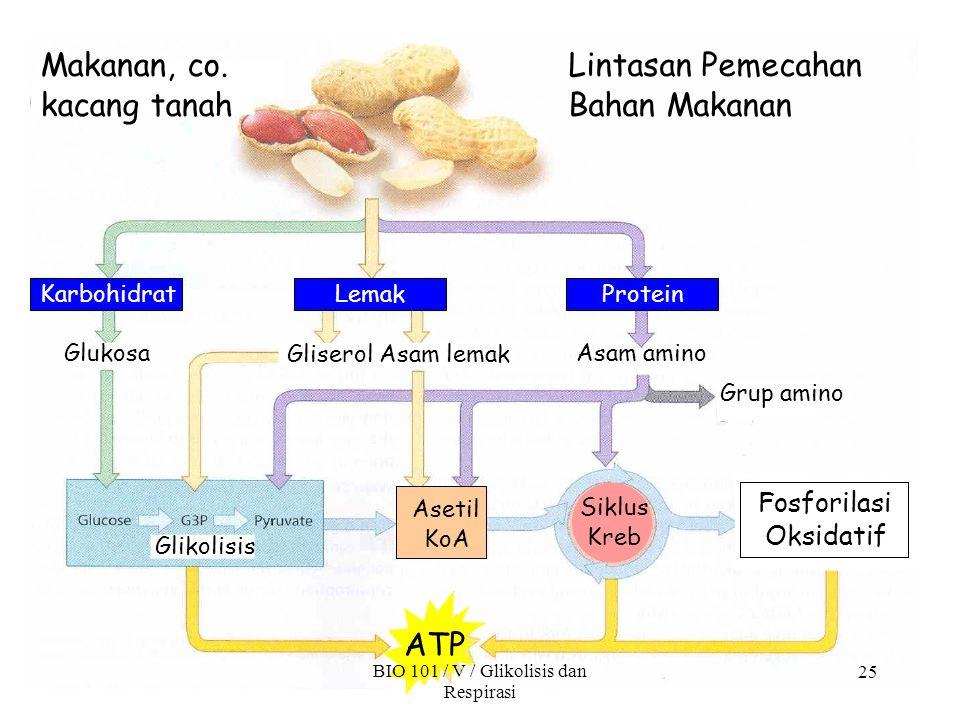 Makanan, co. kacang tanah Lintasan Pemecahan Bahan Makanan Fosforilasi