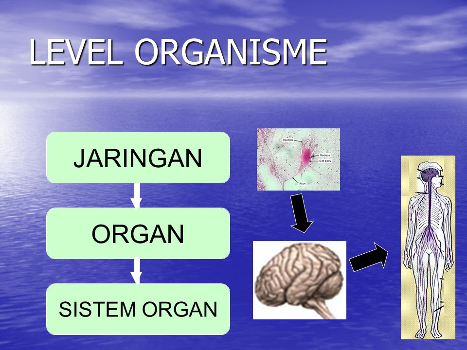 LEVEL ORGANISME