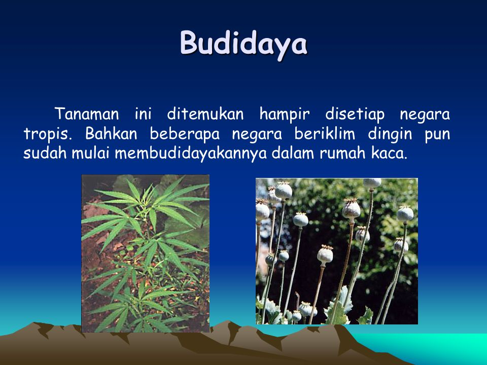 Budidaya