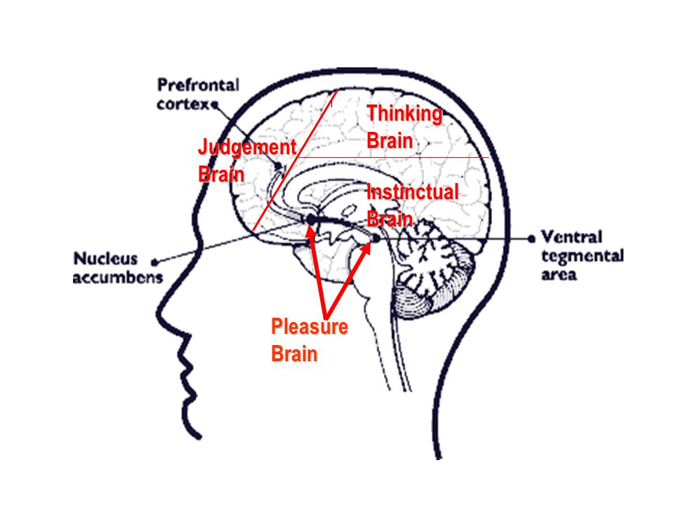 Thinking Brain Judgement Brain Instinctual Brain Pleasure Brain