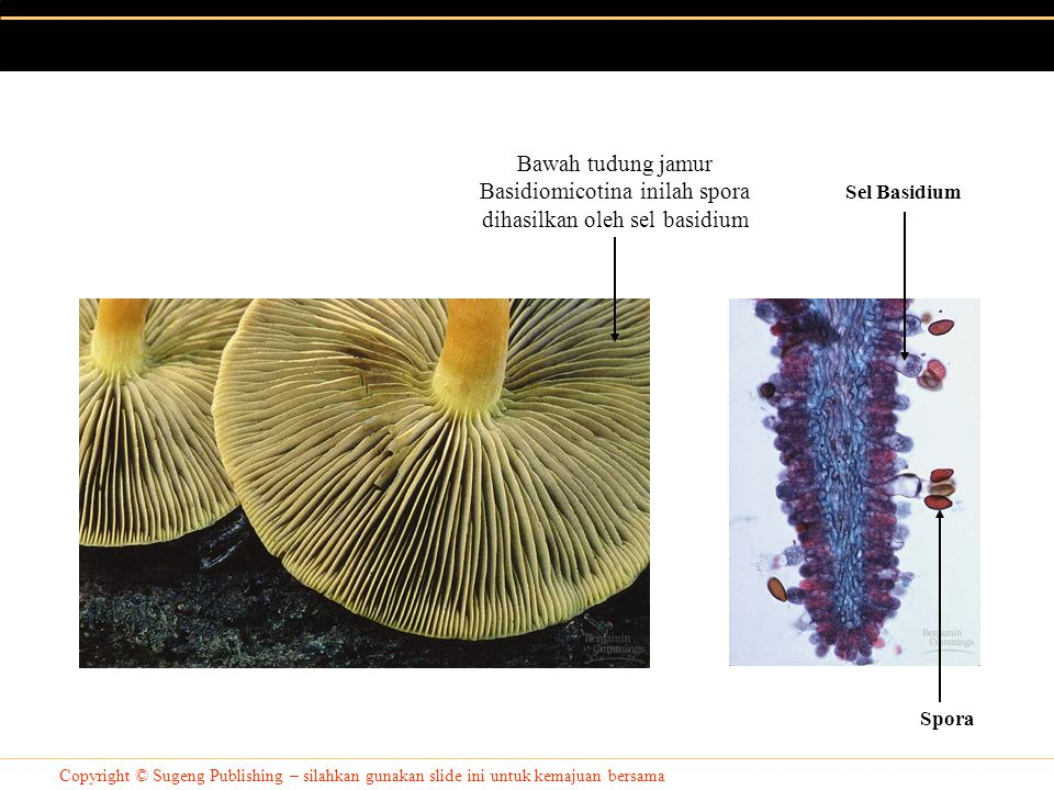 Bawah tudung jamur Basidiomicotina inilah spora dihasilkan oleh sel basidium