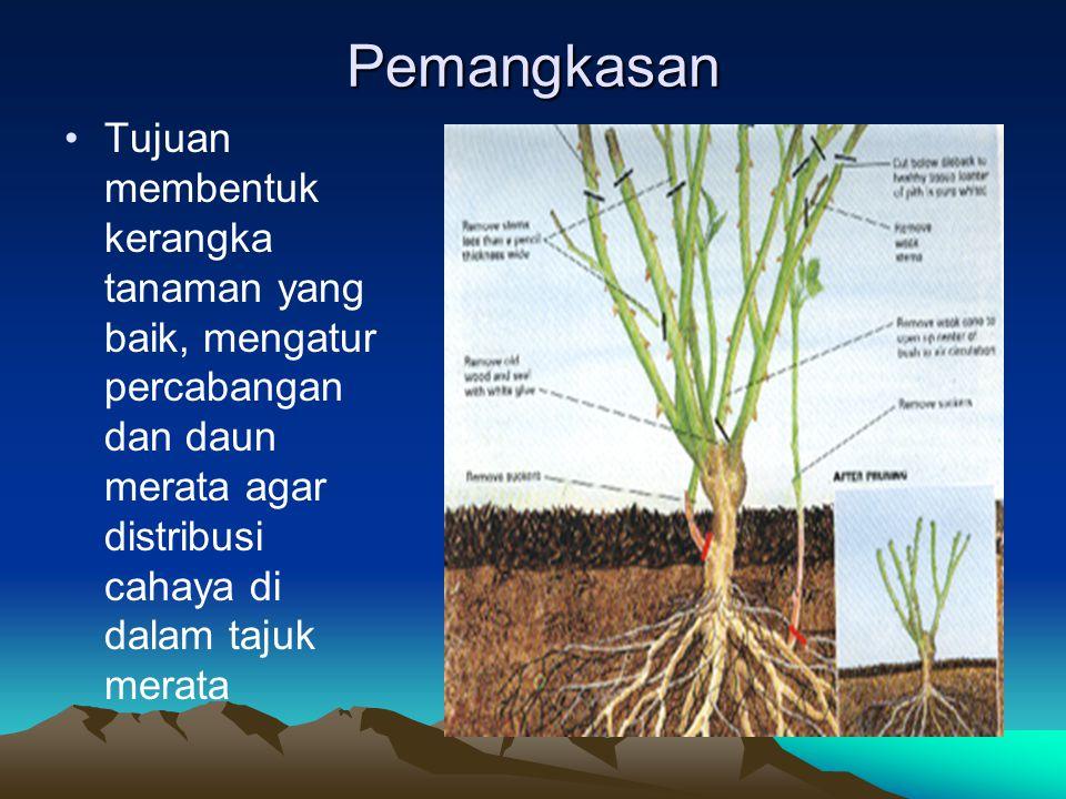 Pemangkasan Tujuan membentuk kerangka tanaman yang baik, mengatur percabangan dan daun merata agar distribusi cahaya di dalam tajuk merata.