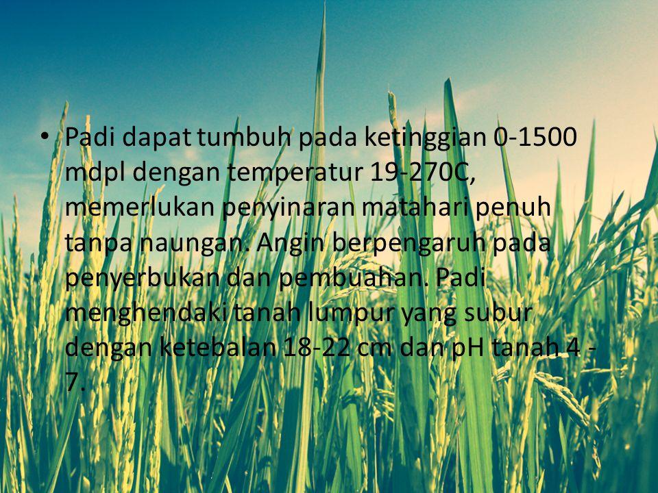 Padi dapat tumbuh pada ketinggian 0-1500 mdpl dengan temperatur 19-270C, memerlukan penyinaran matahari penuh tanpa naungan.