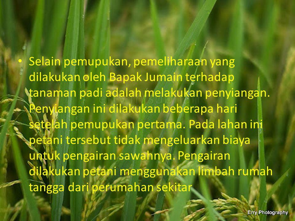 Selain pemupukan, pemeliharaan yang dilakukan oleh Bapak Jumain terhadap tanaman padi adalah melakukan penyiangan.