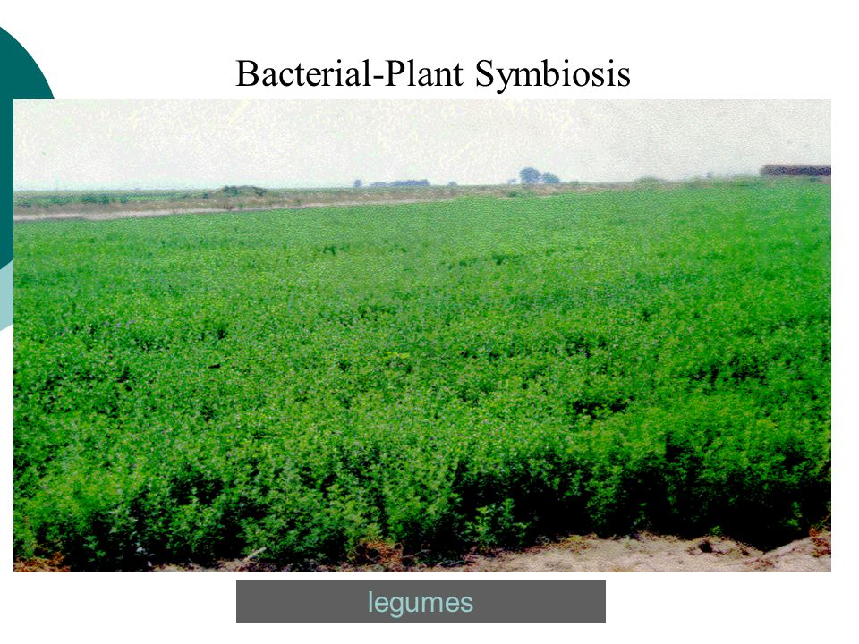 Bacterial-Plant Symbiosis