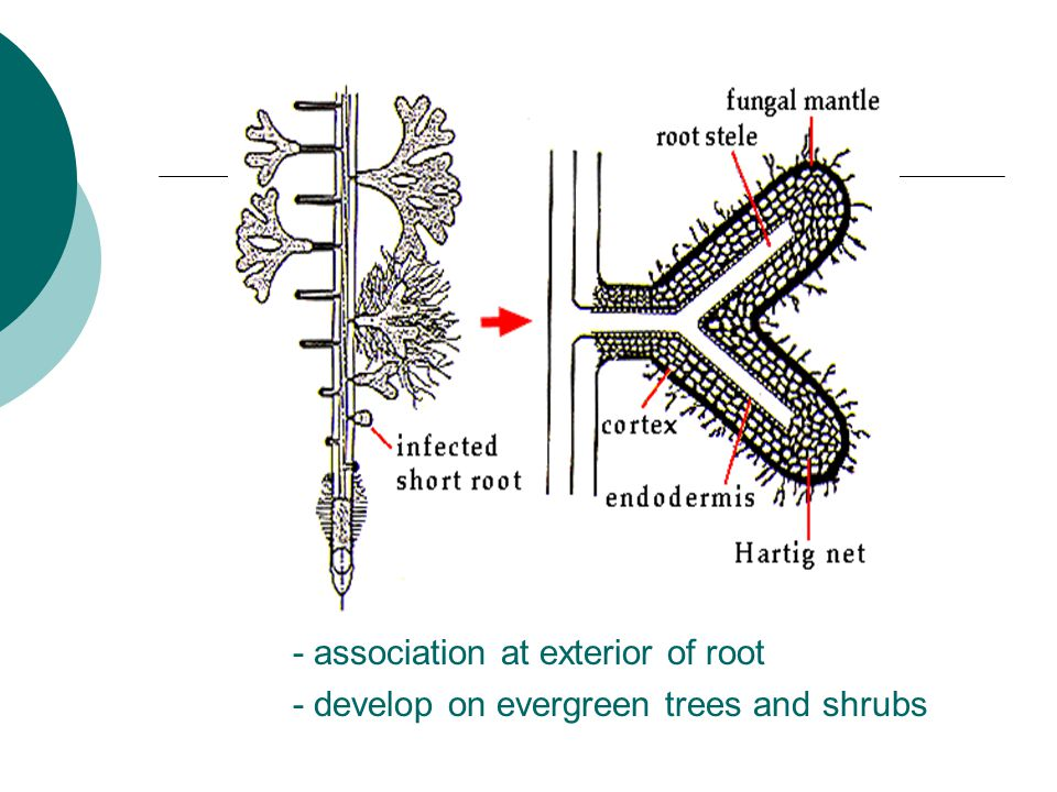 - association at exterior of root