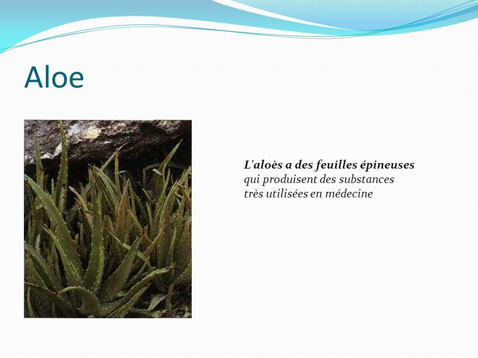 Aloe L aloès a des feuilles épineuses qui produisent des substances