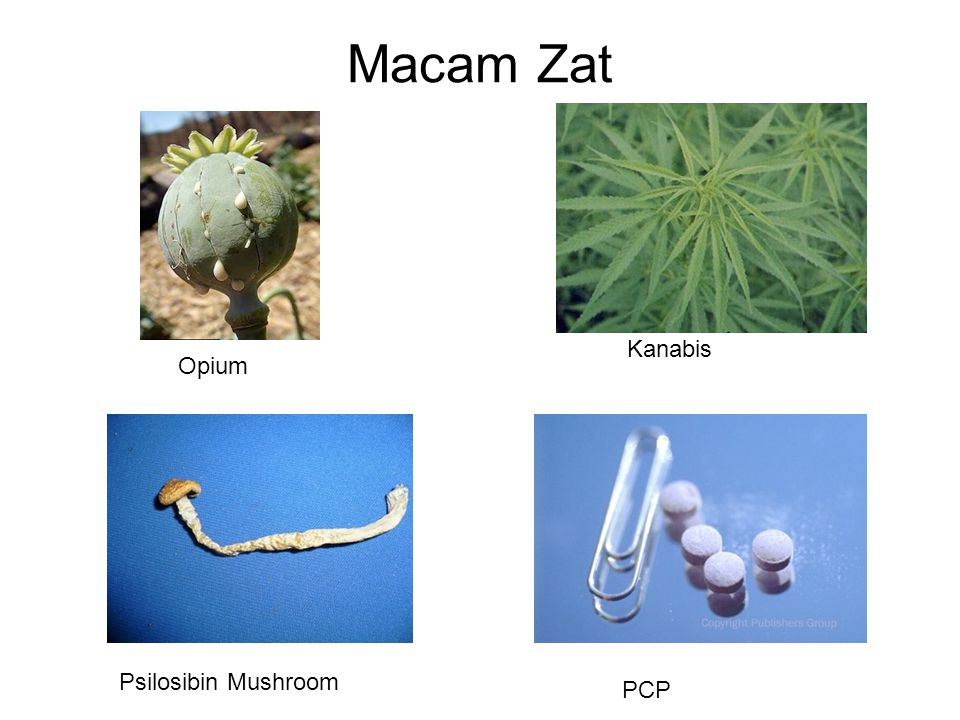 Macam Zat Kanabis Opium Psilosibin Mushroom PCP
