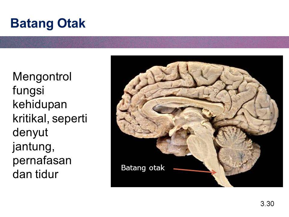 Batang Otak Mengontrol fungsi kehidupan kritikal, seperti denyut jantung, pernafasan dan tidur.