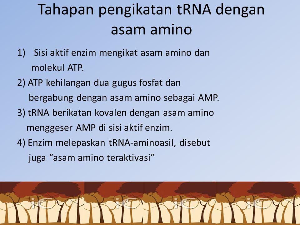 Tahapan pengikatan tRNA dengan asam amino