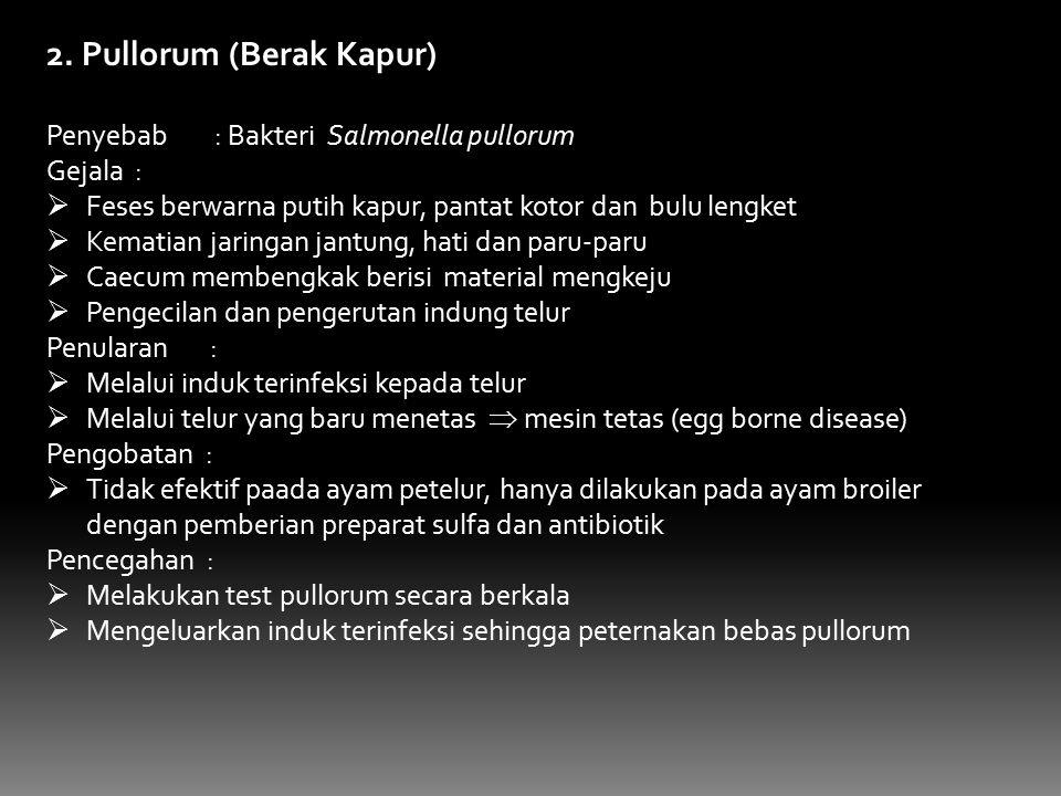 2. Pullorum (Berak Kapur)
