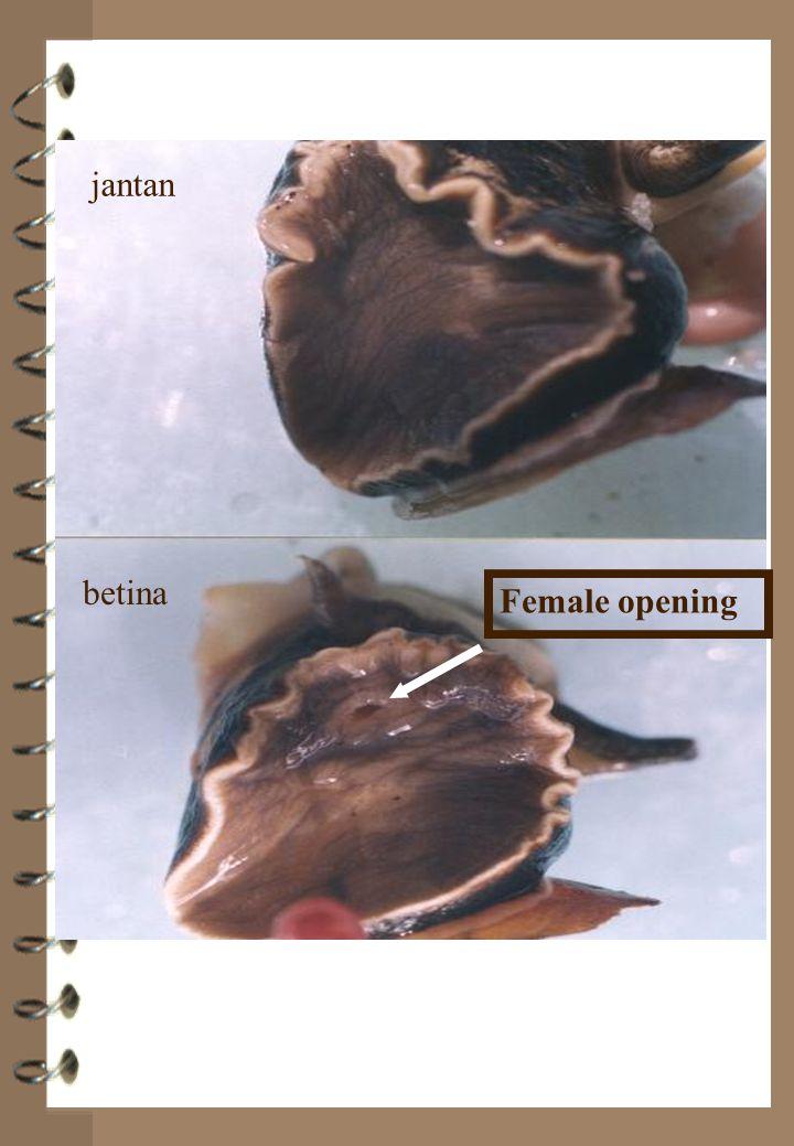 Female opening jantan betina jantan betina