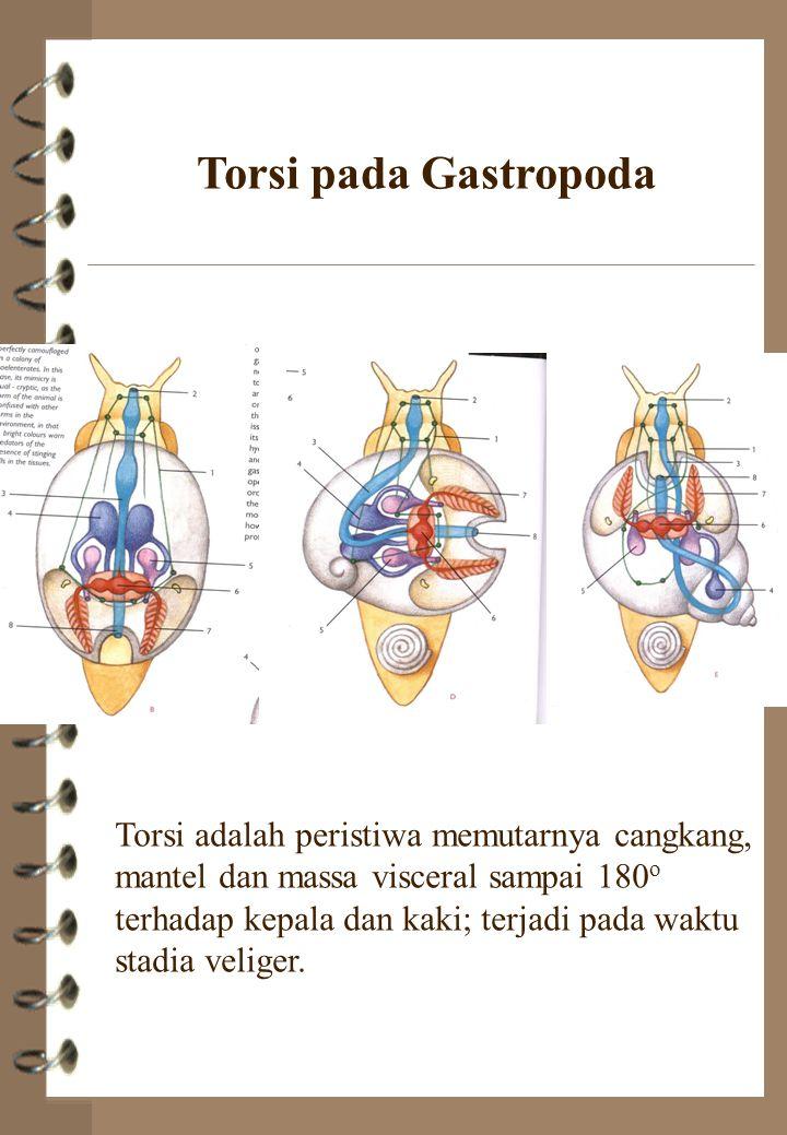 Torsi pada Gastropoda