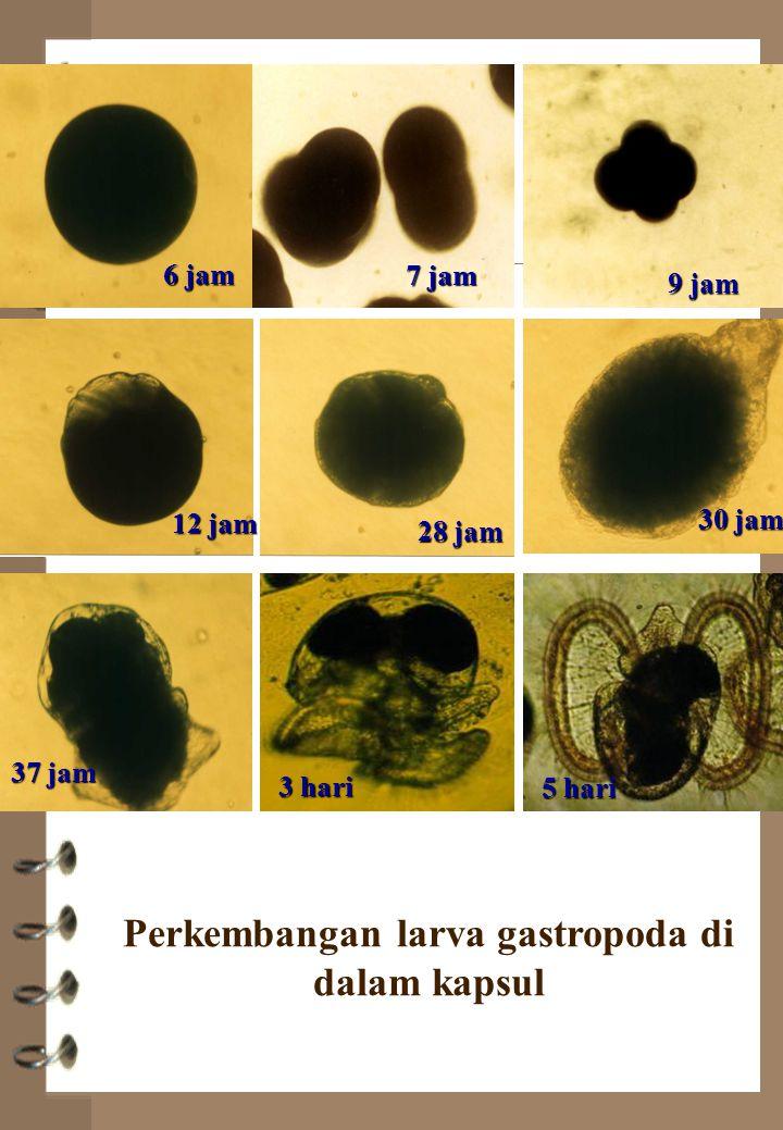 Perkembangan larva gastropoda di dalam kapsul