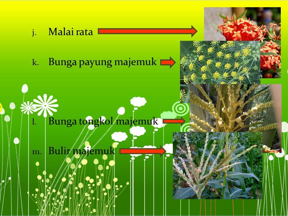 Malai rata Bunga payung majemuk Bunga tongkol majemuk Bulir majemuk