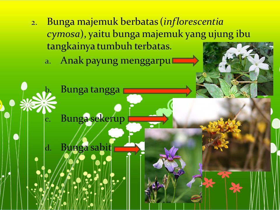 Bunga majemuk berbatas (inflorescentia cymosa), yaitu bunga majemuk yang ujung ibu tangkainya tumbuh terbatas.