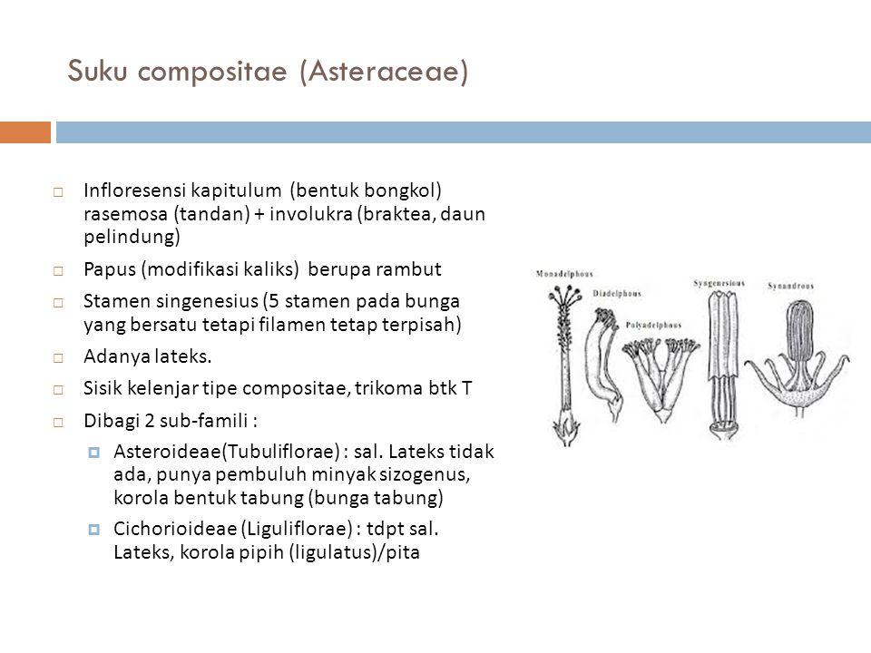 Suku compositae (Asteraceae)