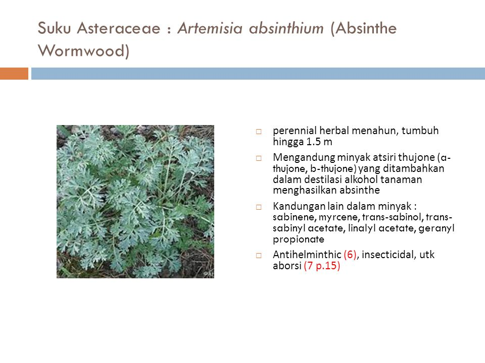 Suku Asteraceae : Artemisia absinthium (Absinthe Wormwood)