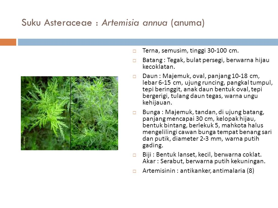 Suku Asteraceae : Artemisia annua (anuma)