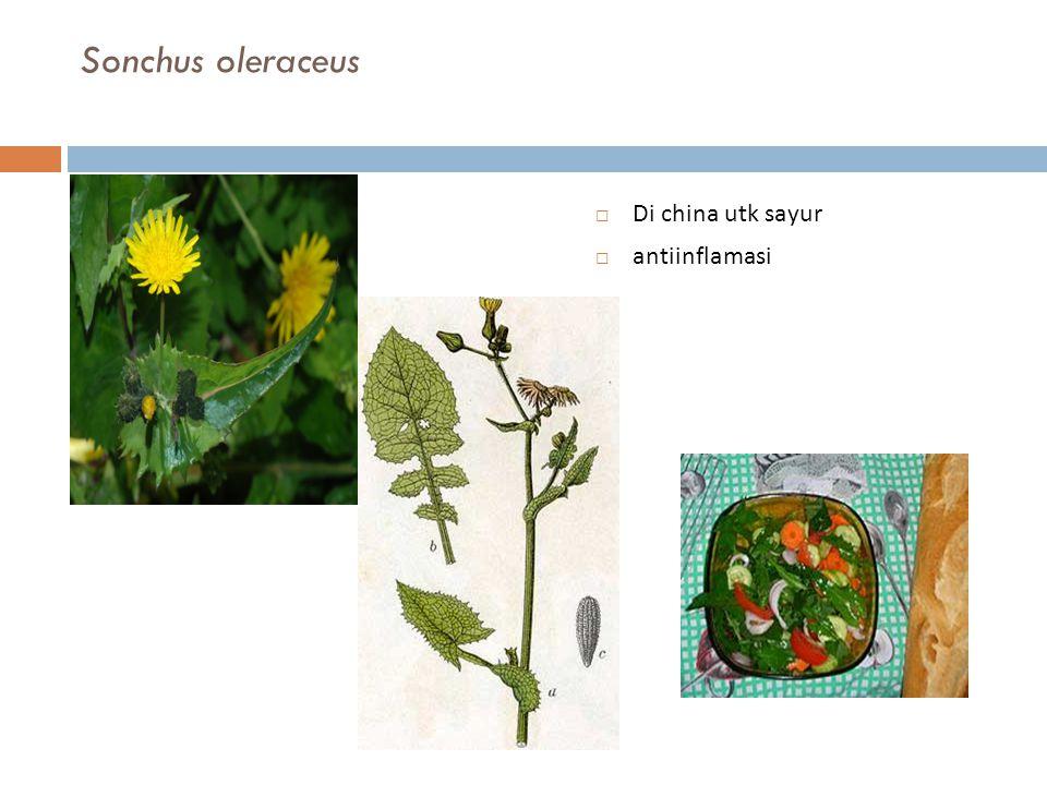 Sonchus oleraceus Di china utk sayur antiinflamasi