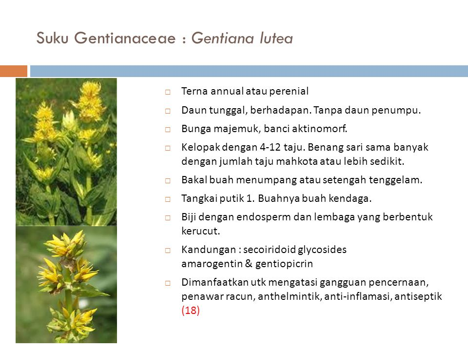 Suku Gentianaceae : Gentiana lutea