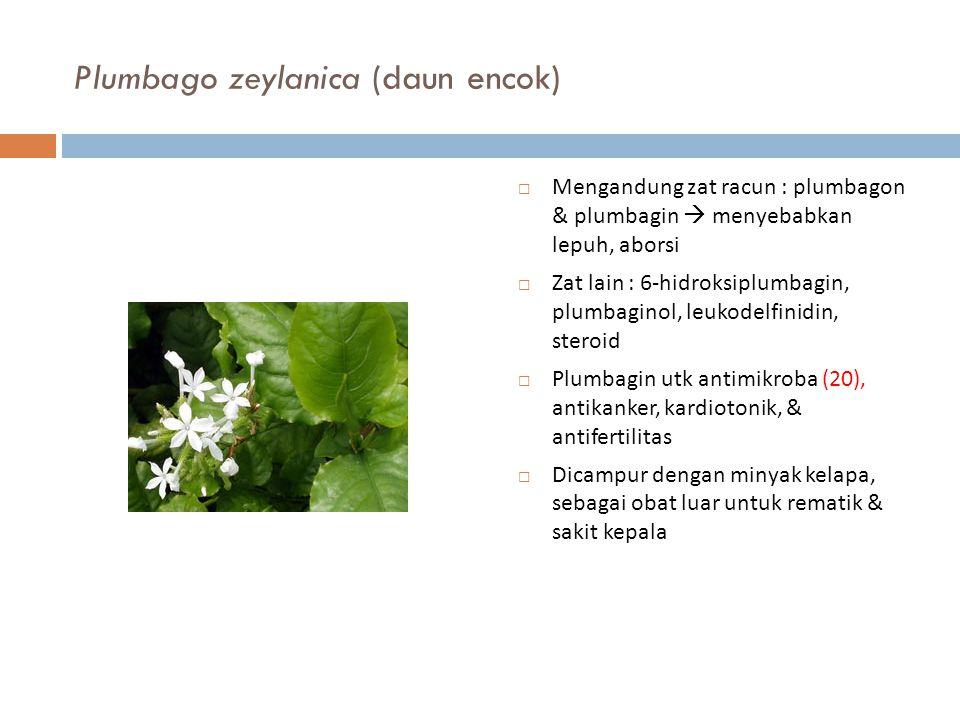 Plumbago zeylanica (daun encok)