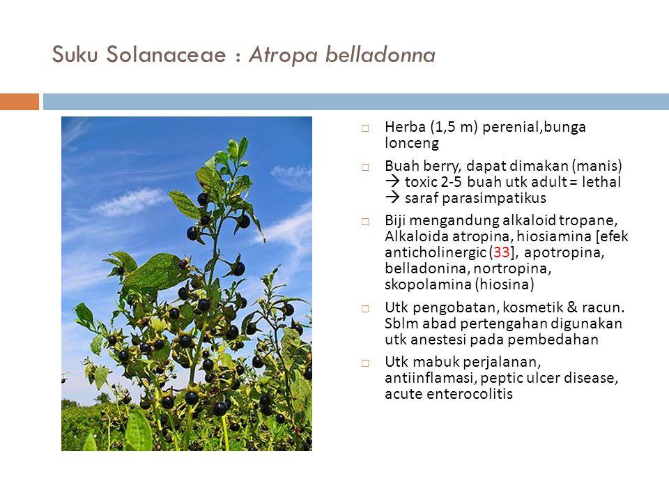 Suku Solanaceae : Atropa belladonna