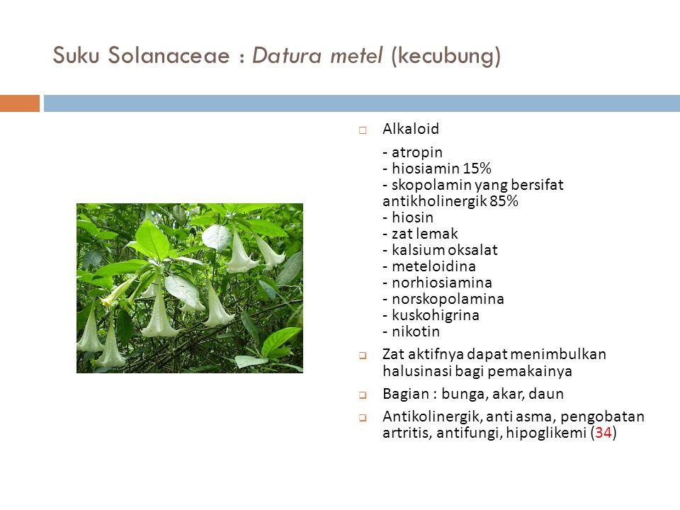 Suku Solanaceae : Datura metel (kecubung)