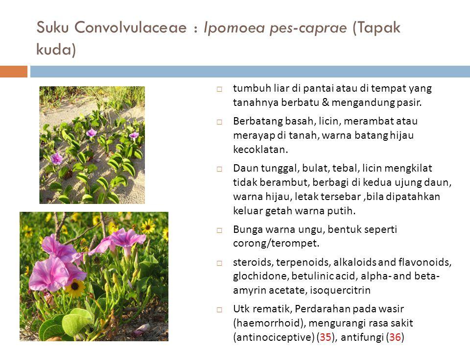 Suku Convolvulaceae : Ipomoea pes-caprae (Tapak kuda)