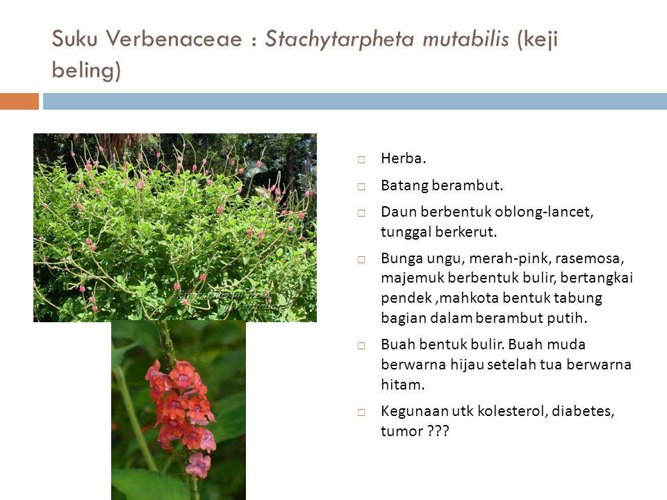 Suku Verbenaceae : Stachytarpheta mutabilis (keji beling)