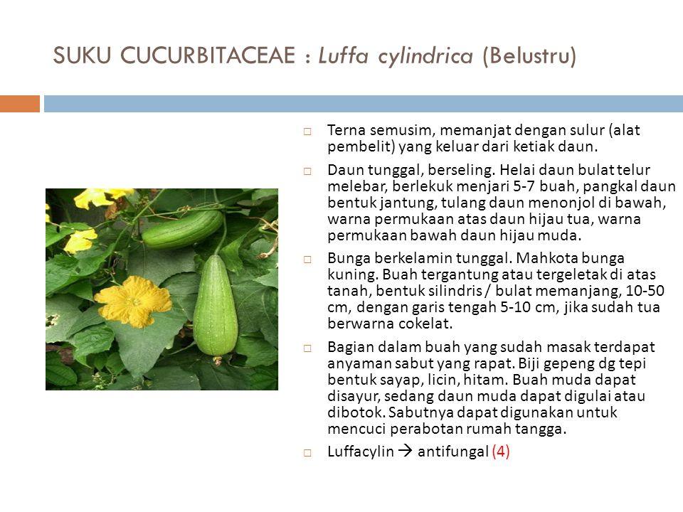 SUKU CUCURBITACEAE : Luffa cylindrica (Belustru)