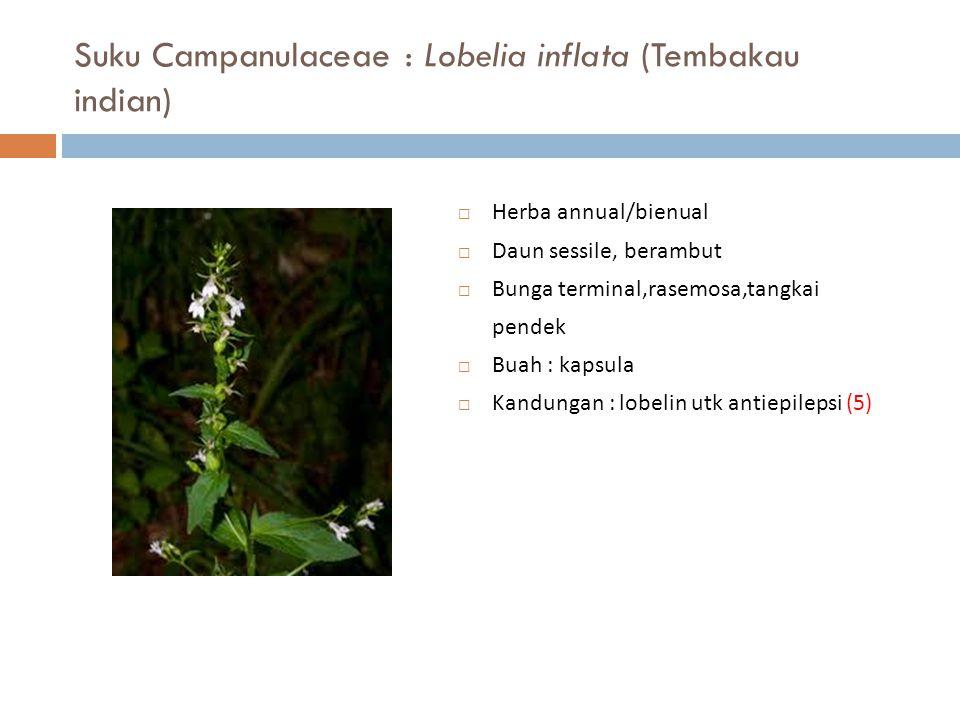 Suku Campanulaceae : Lobelia inflata (Tembakau indian)