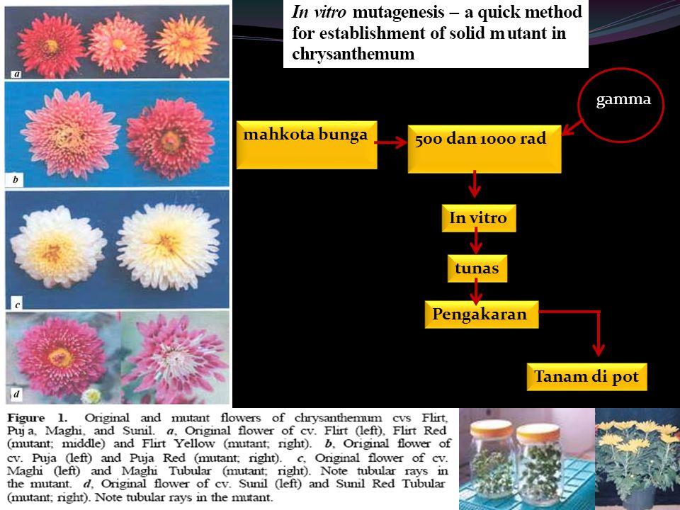 gamma mahkota bunga 500 dan 1000 rad In vitro tunas Pengakaran Tanam di pot